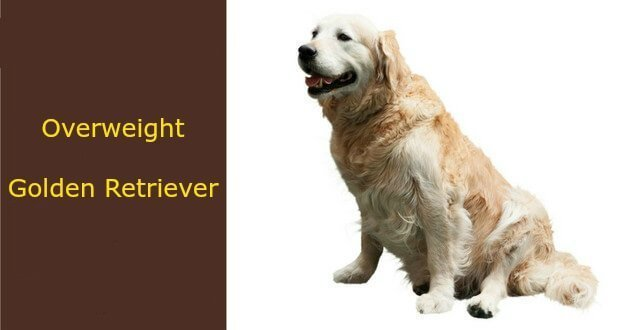 Overweight Golden Retriever