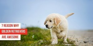 7 Reasons Why Golden Retrievers are Awesome Pets