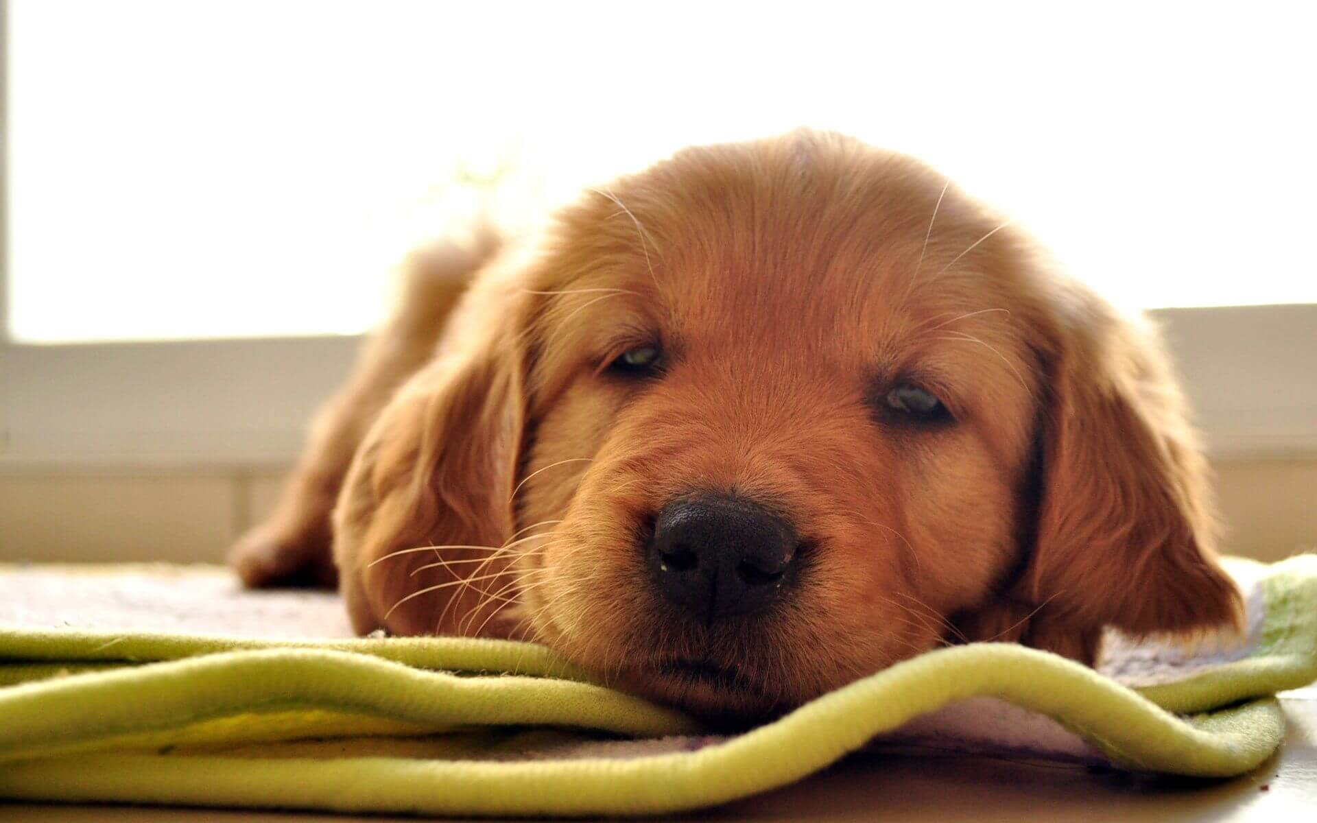 Tips for Adopting Golden Retriever