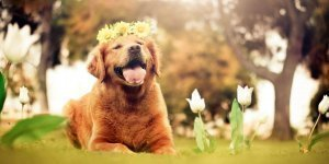 An Intro-to Golden Retriever